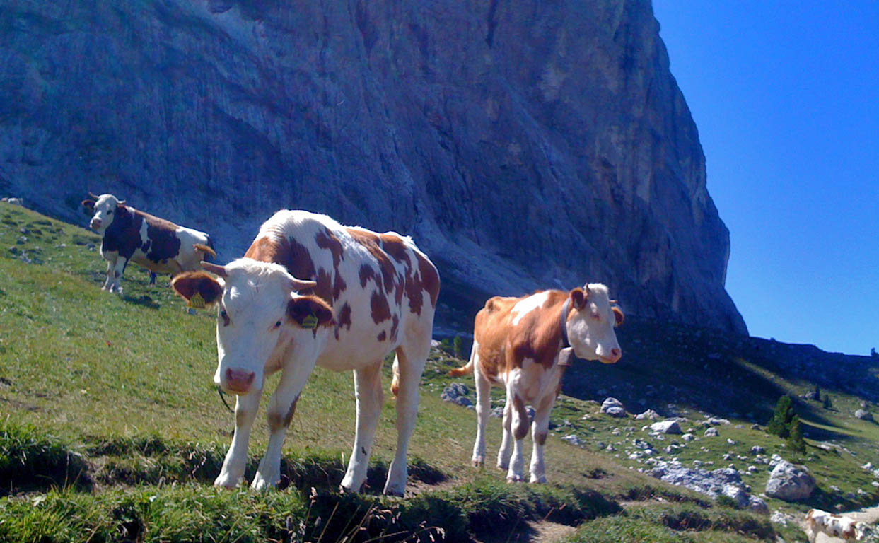 Cows in the Dolomites in summer